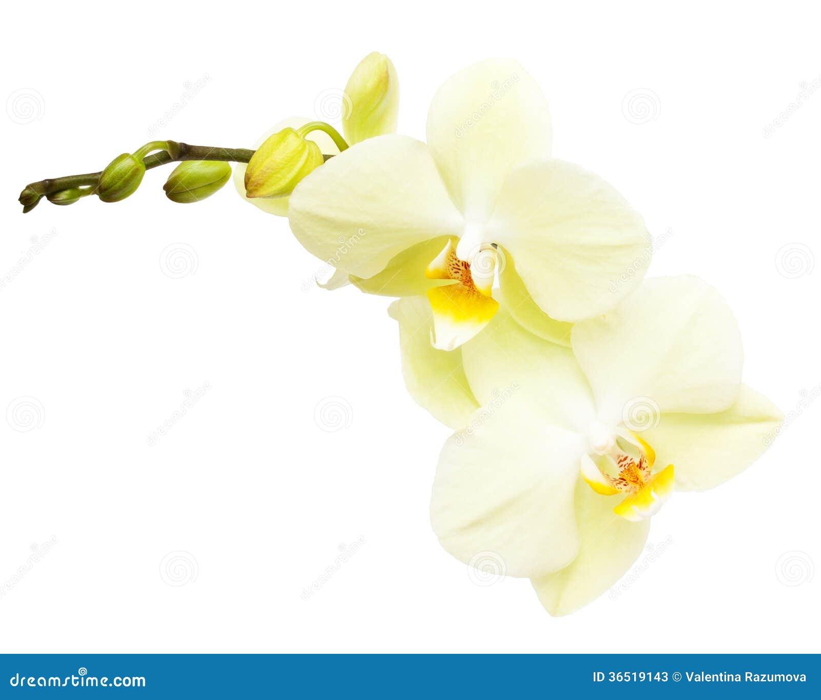 Branche de fleur d orchidée