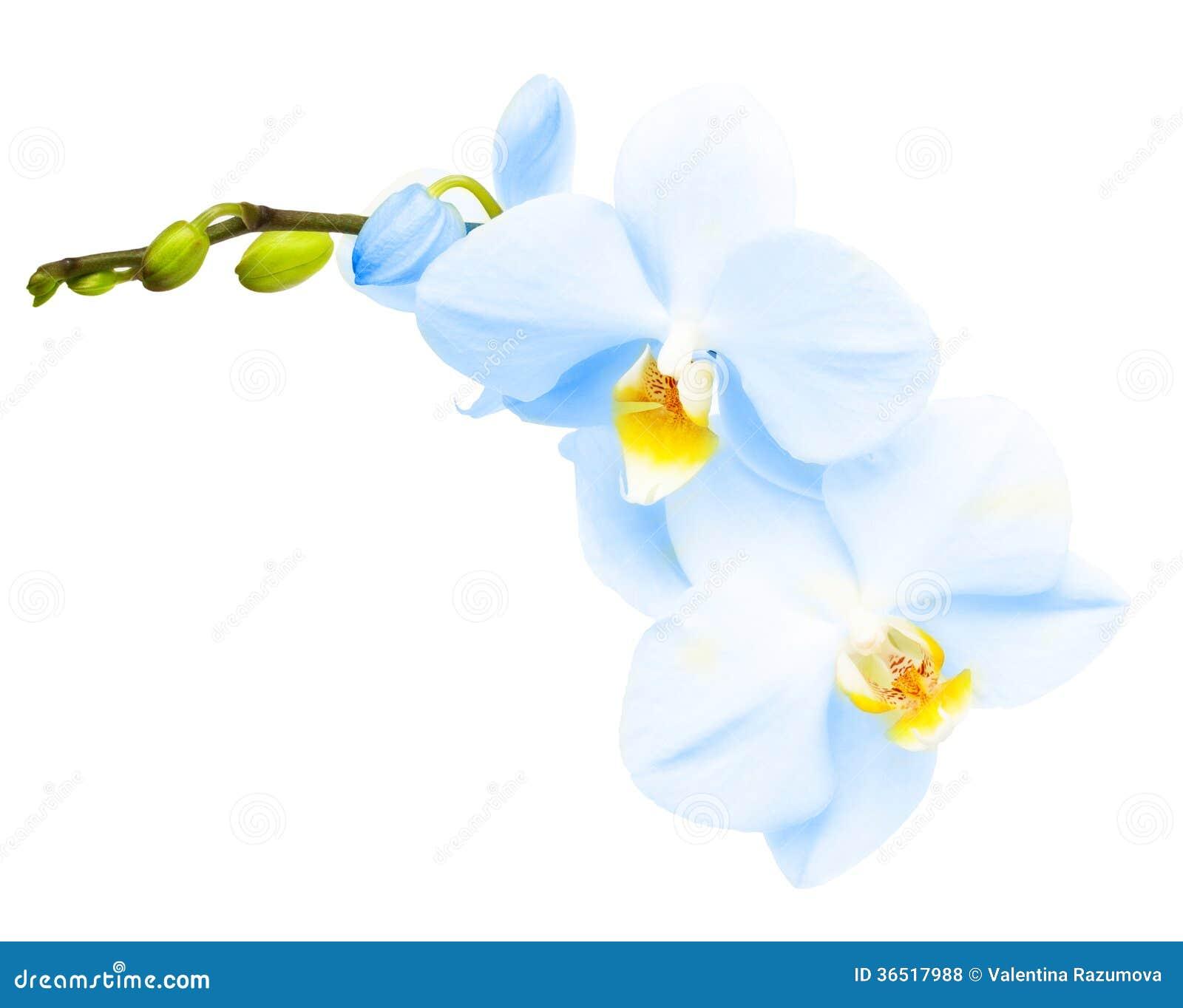 Branche de fleur d orchidée bleue