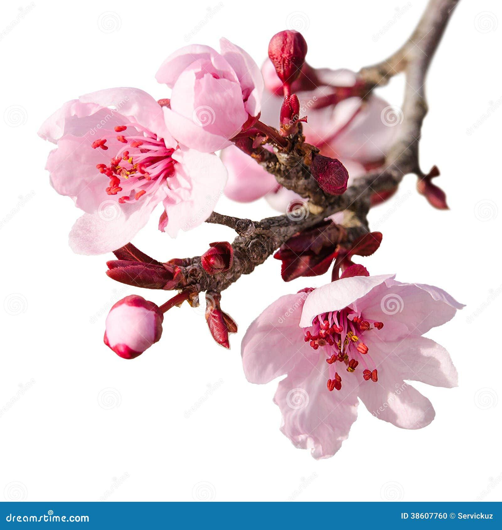 branche de fleur de prune de ressort avec les fleurs roses photo stock image 38607760. Black Bedroom Furniture Sets. Home Design Ideas