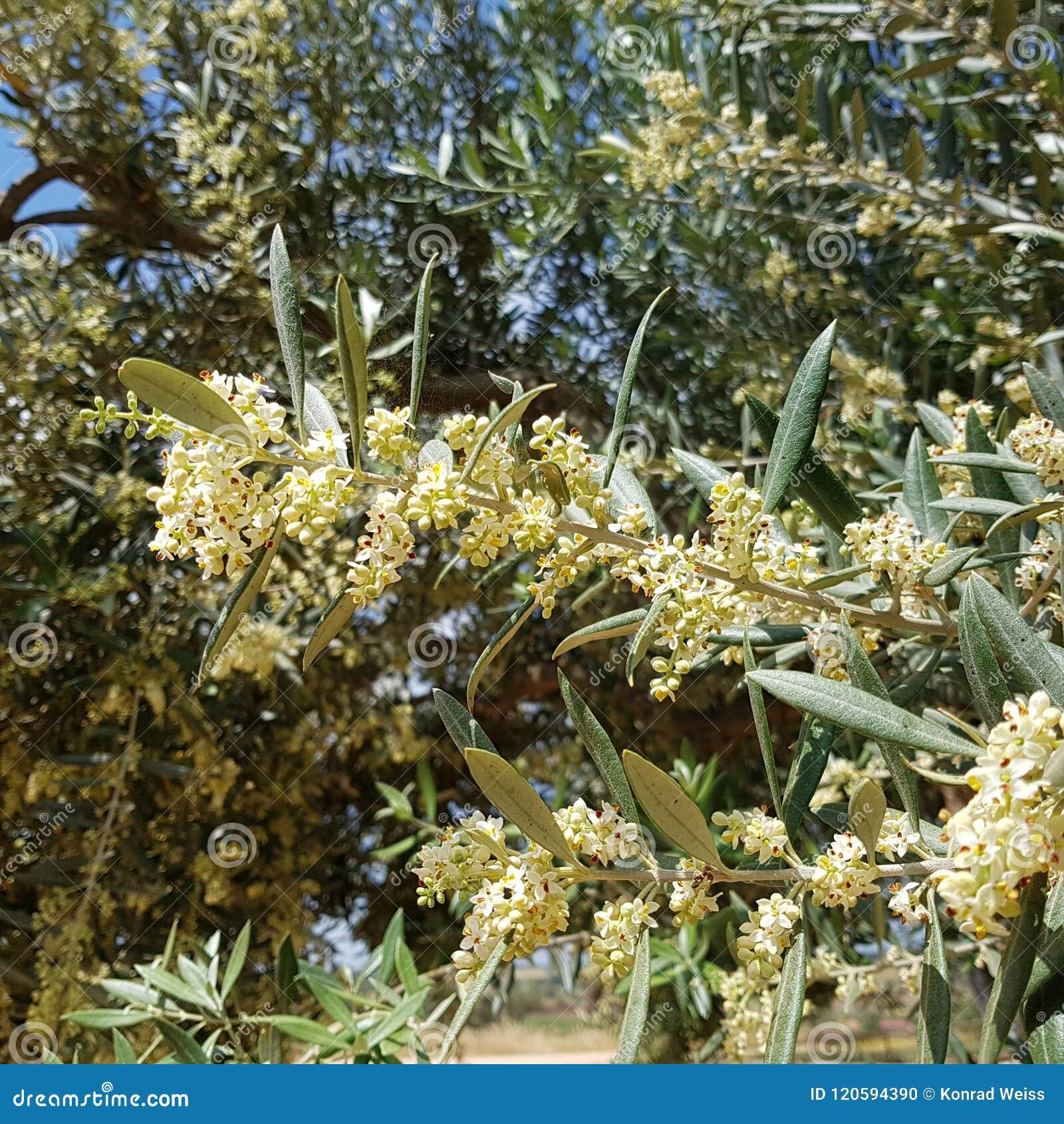 Branche De Floraison D\'olivier Photo stock - Image du fleur ...