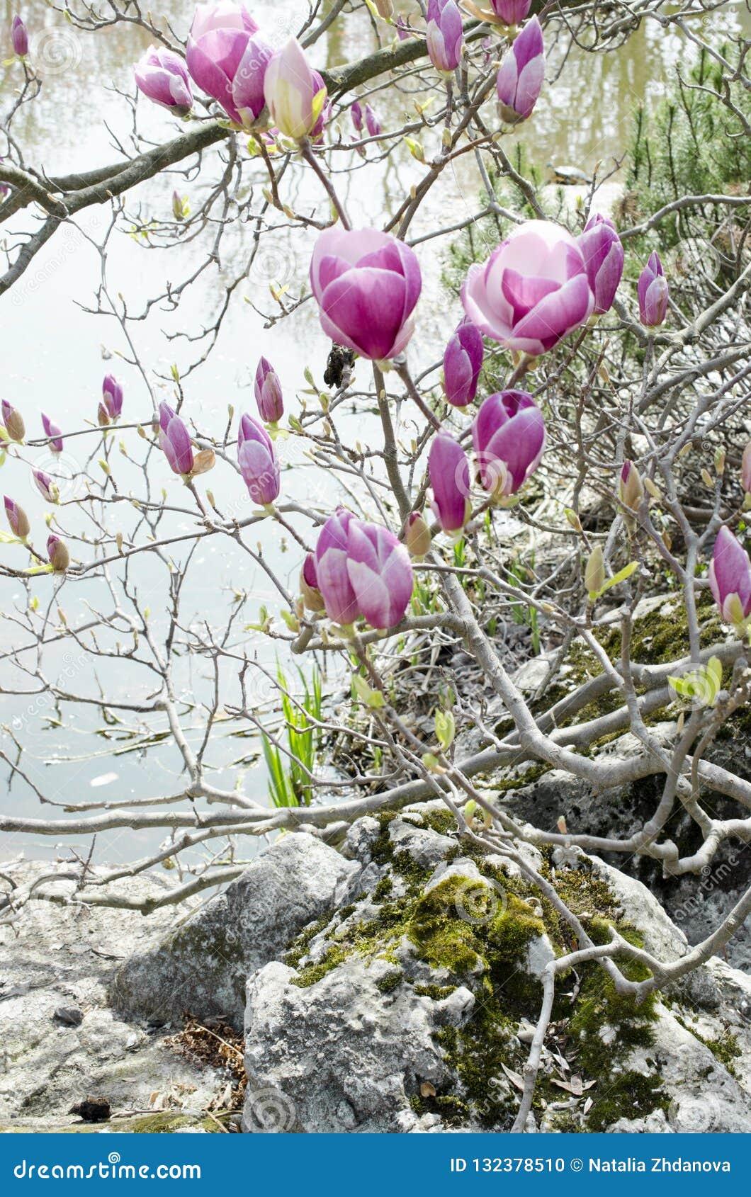Branche de floraison de magnolia