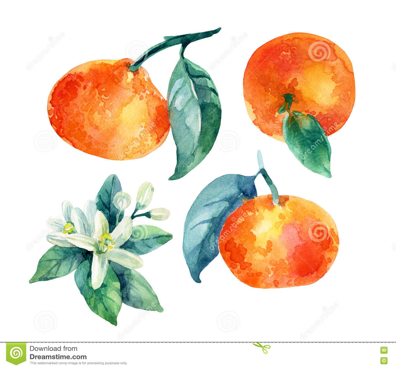 branche de fruit de mandarine d 39 aquarelle avec des feuilles d 39 isolement sur le blanc. Black Bedroom Furniture Sets. Home Design Ideas