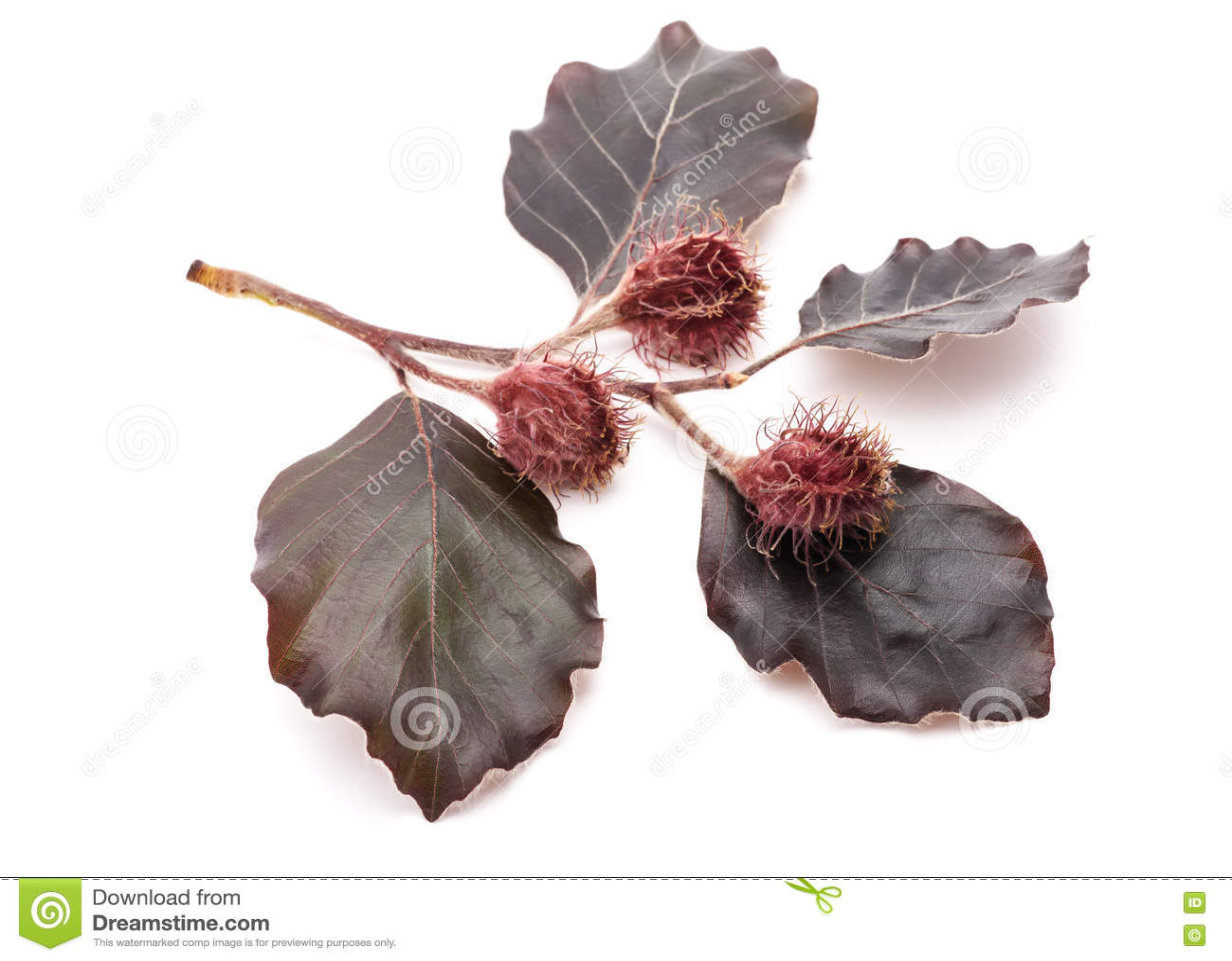 Branche de hêtre rouge