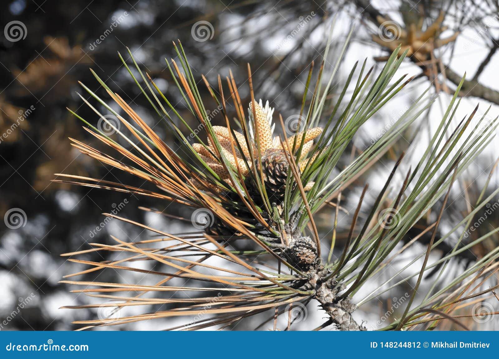 Branche de pin avec des cônes dans la forêt ensoleillée d hiver