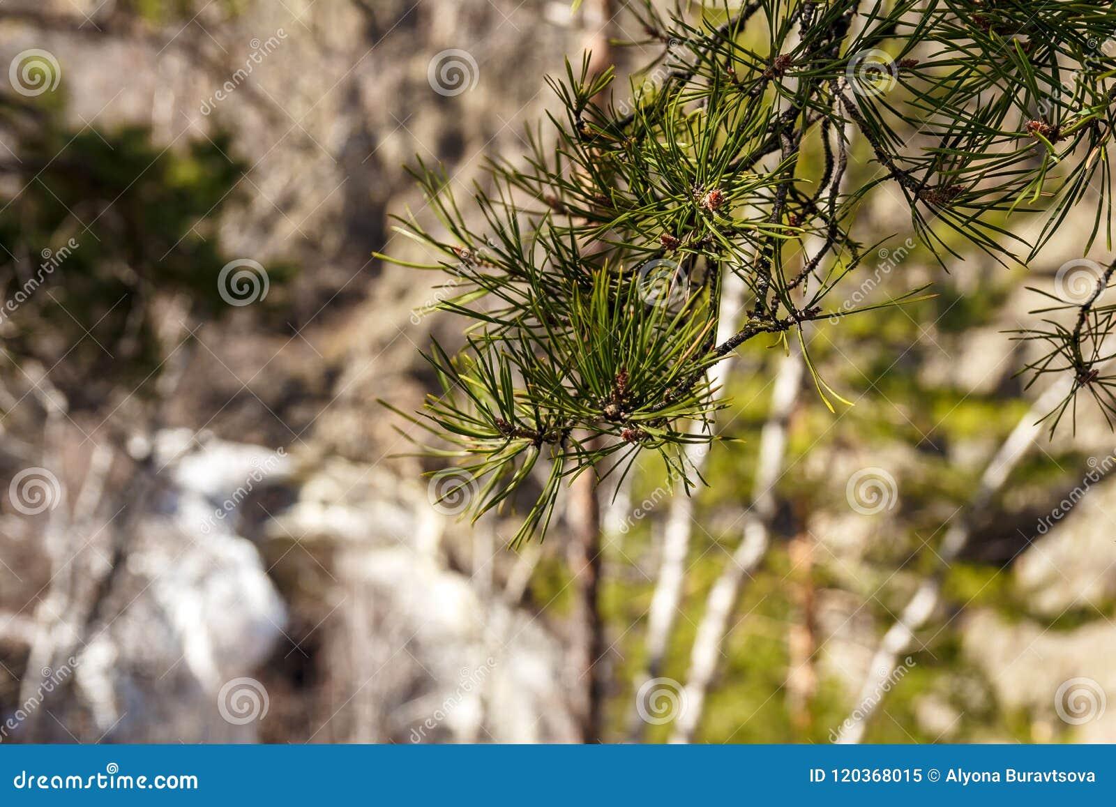 Branche de pin verte fraîche au printemps