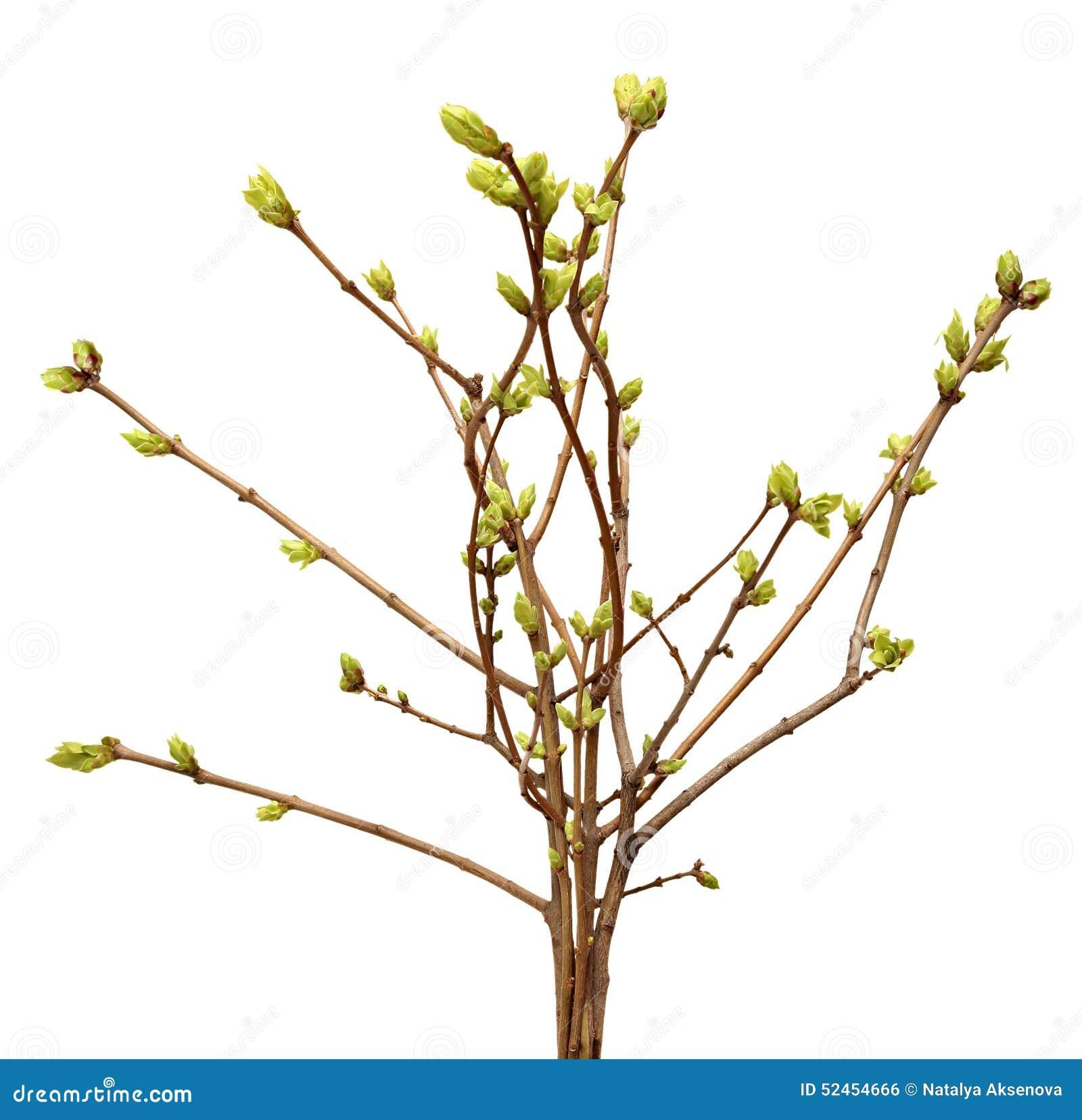 Branche de ressort de l 39 arbre bourgeon sur une branche d - Dessin bourgeon ...