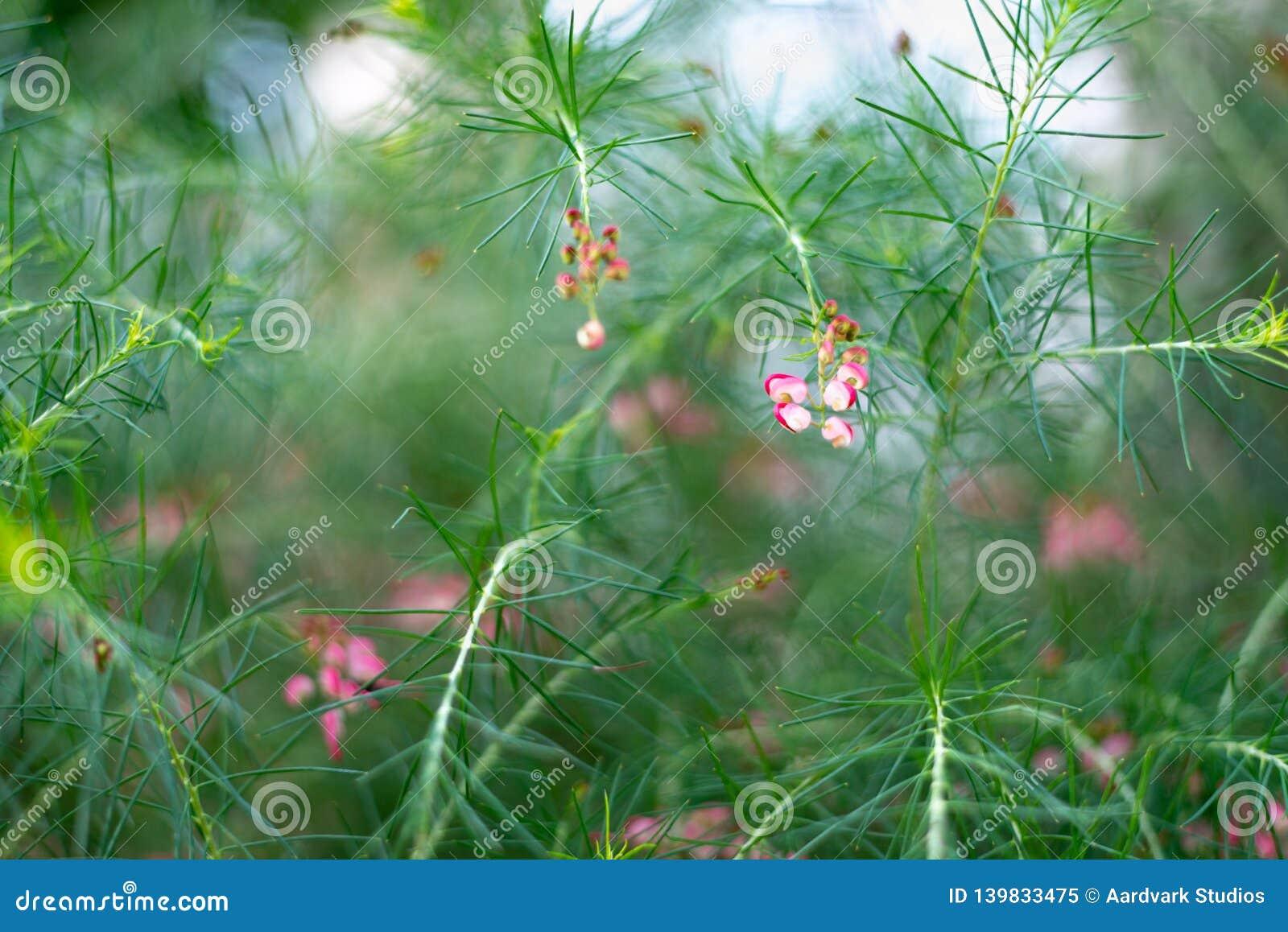 Branche de rosmarinifolia de Grevillea avec les fleurs rouges