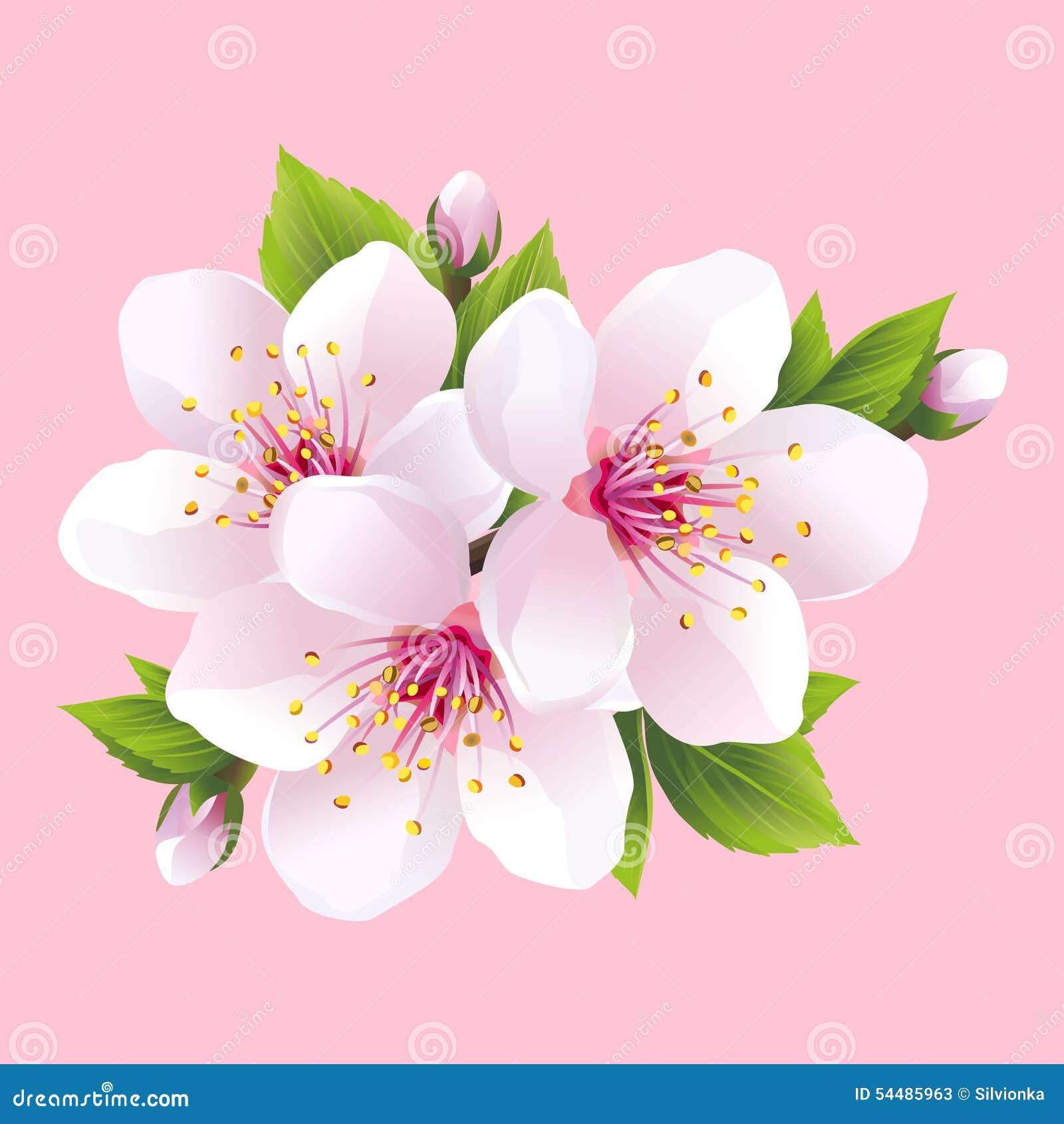 Branche de sakura de floraison blanc cerisier japonais illustration de vect - Papier peint fleur de cerisier japonais ...