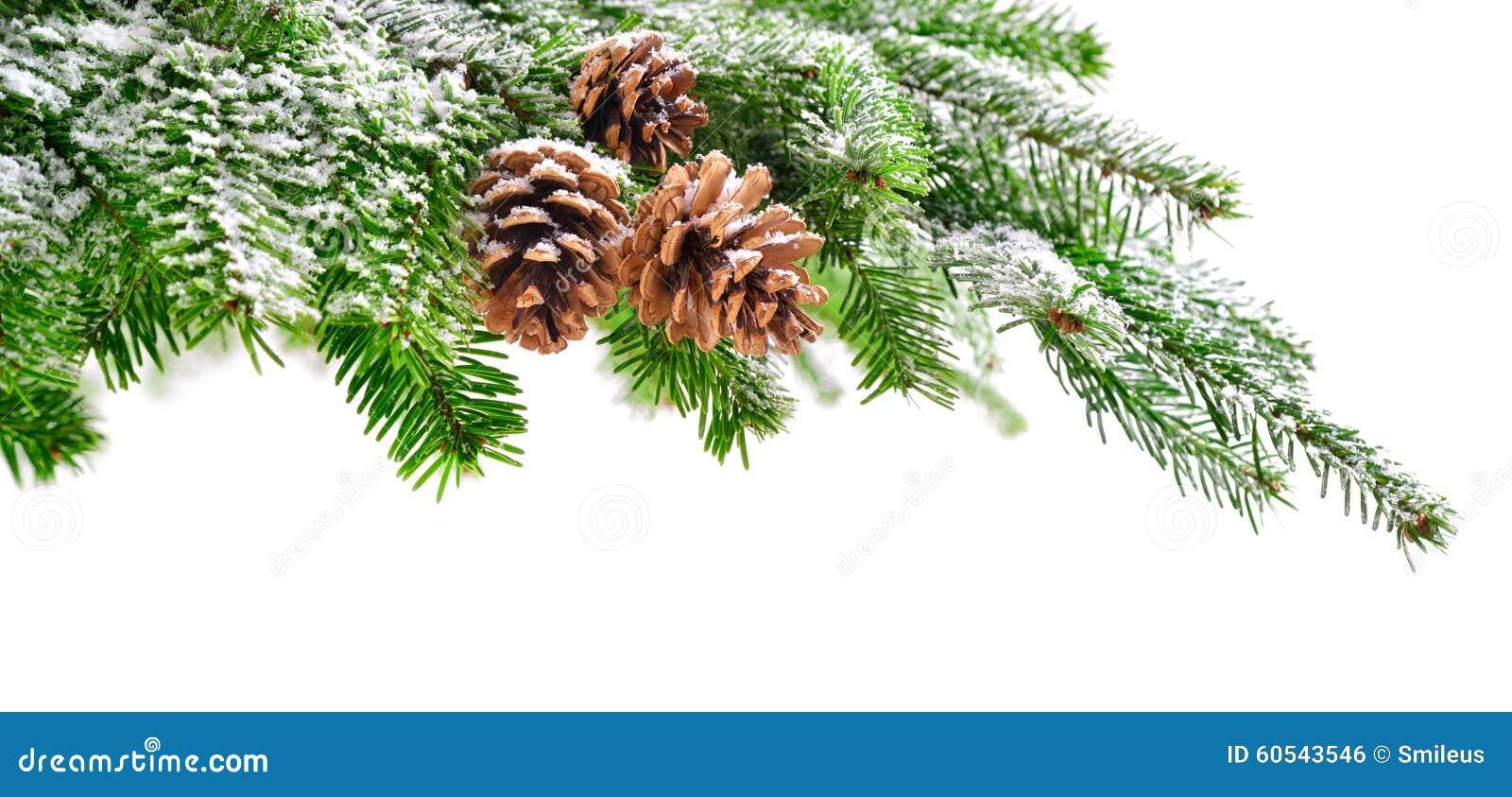 Branche De Sapin Avec La Neige Et Les Cônes Photo Stock