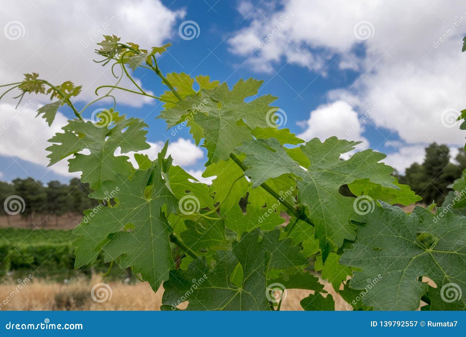 Branche de vigne sur le fond de ciel