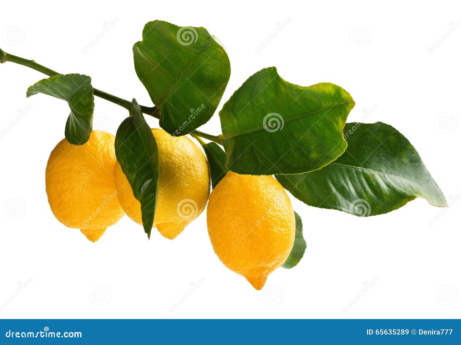 Branche des citrons