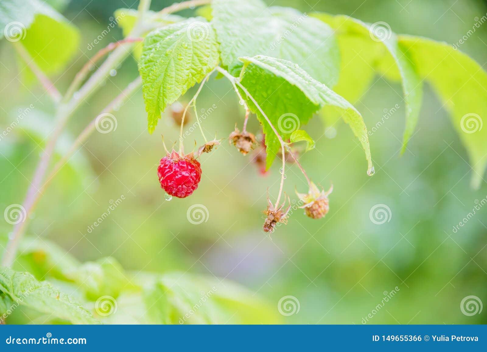Branche des framboises m?res dans le jardin Les baies douces rouges s ?levant sur le framboisier en fruit font du jardinage Jardi