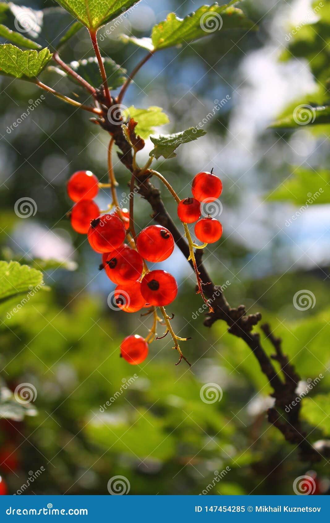 Branche des groseilles rouges sur un fond naturel blured
