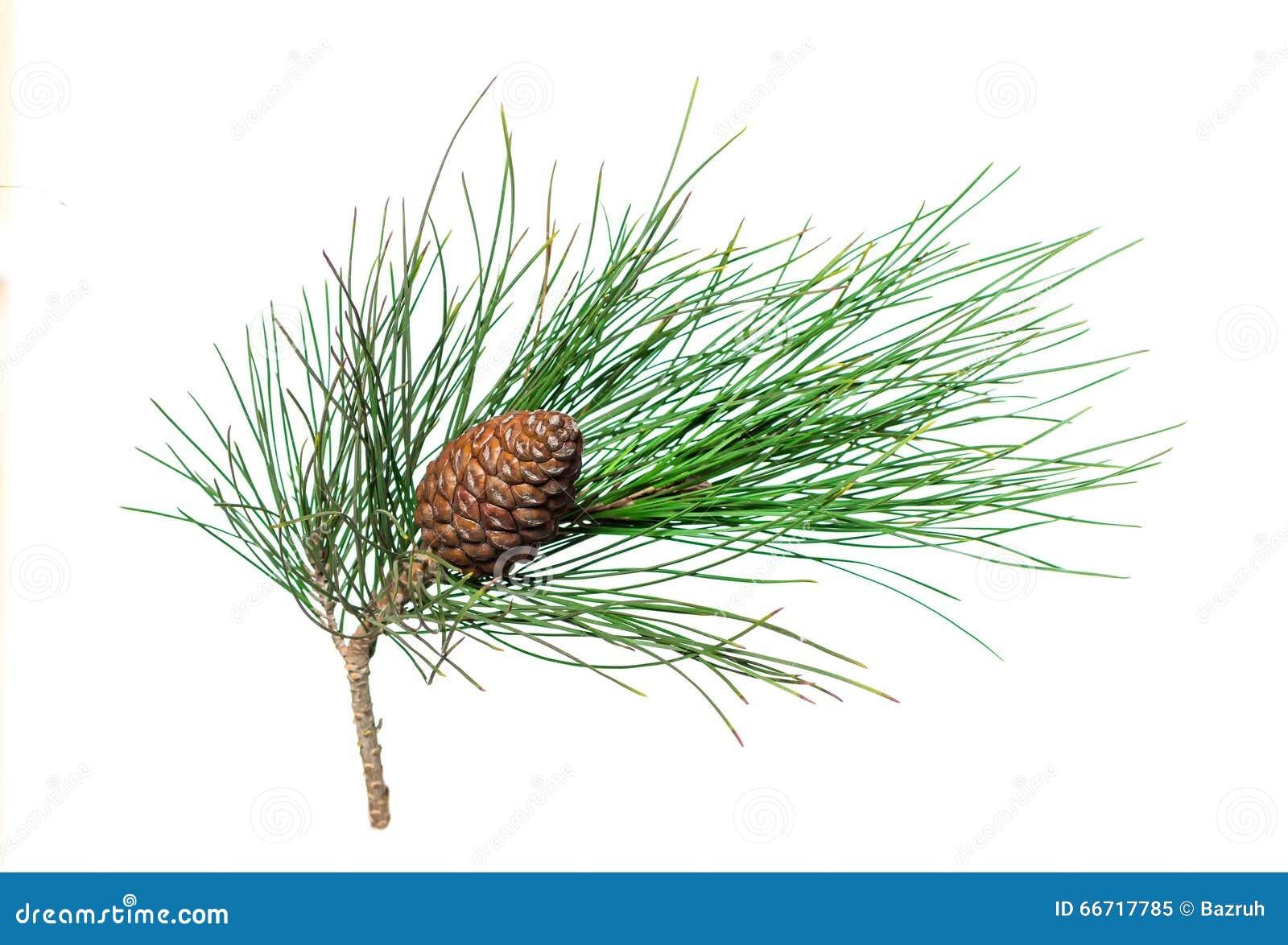 Branche du pin sibérien avec le cône
