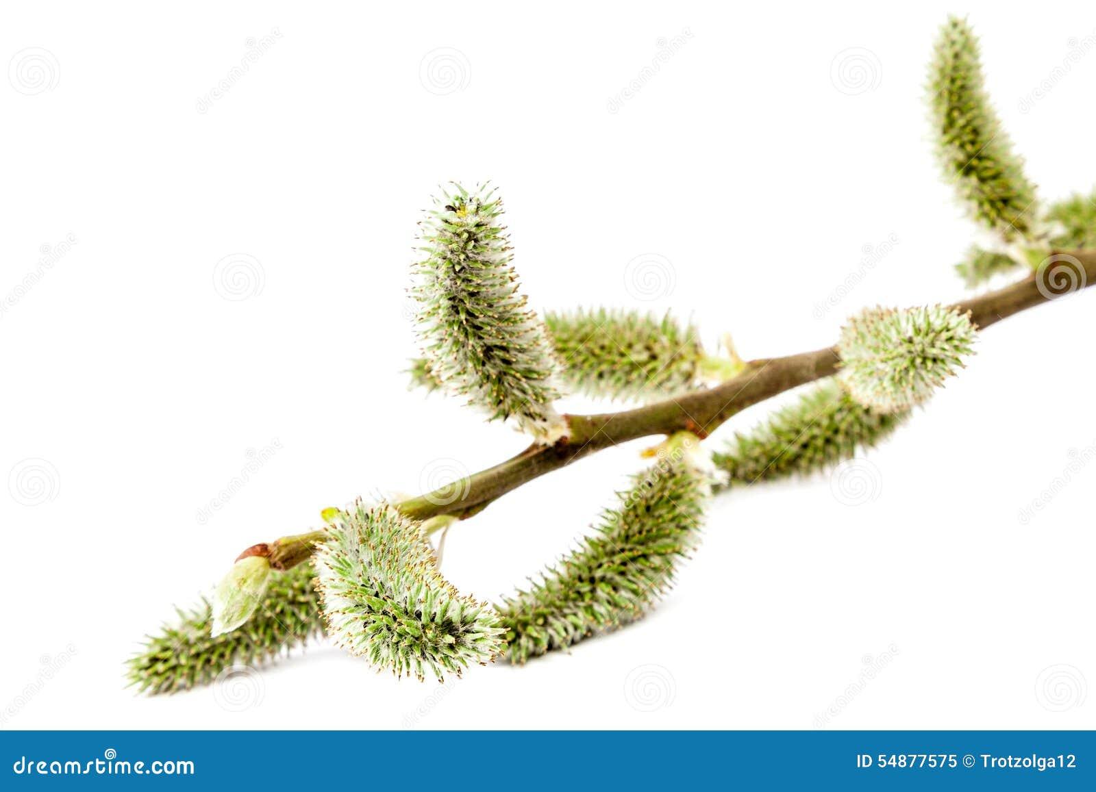 Branche fleurissante sensible de saule sur le fond blanc