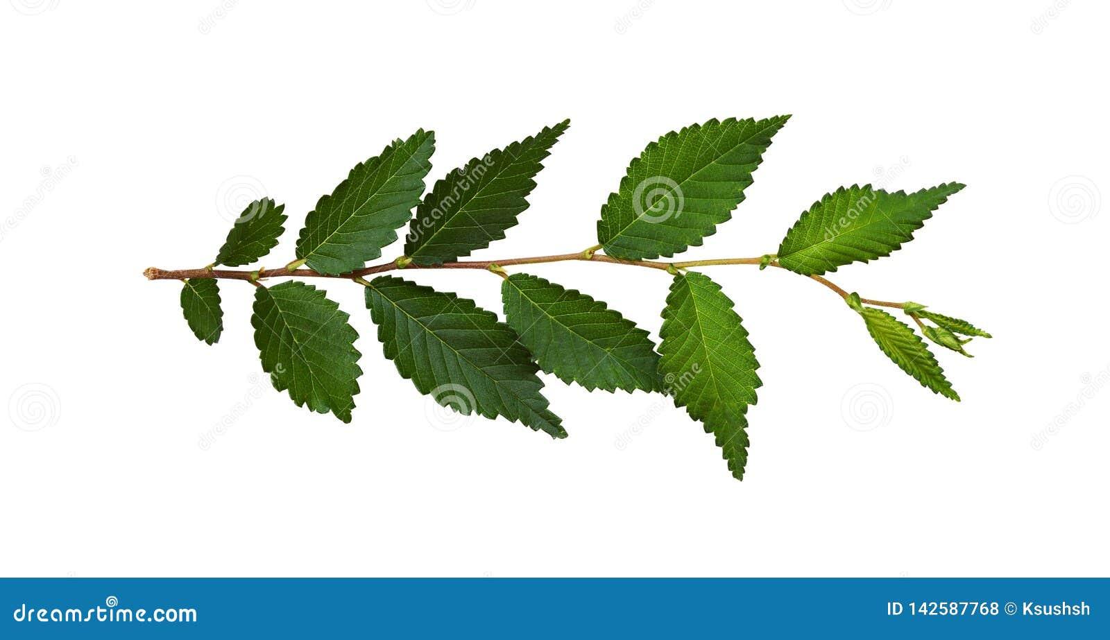 Branche fraîche avec les feuilles vertes