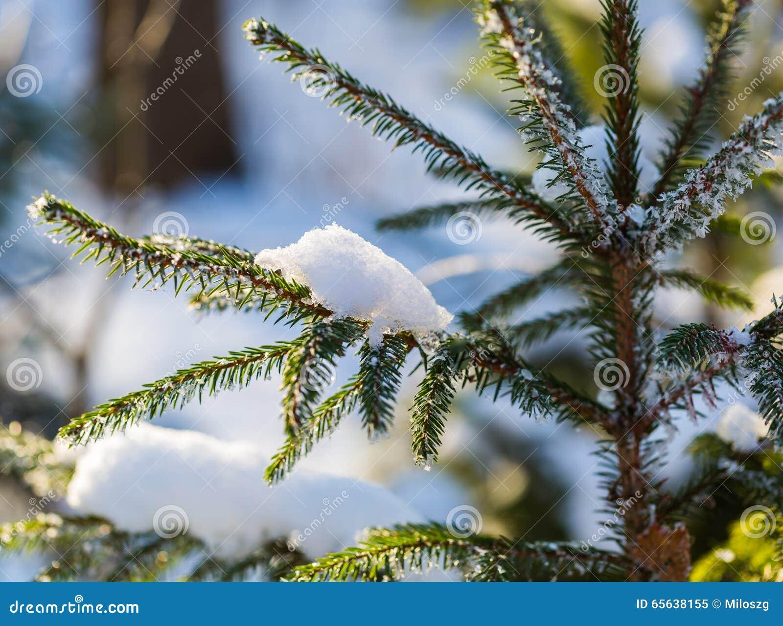 Branche impeccable d hiver sous la neige dans la bonne lumière