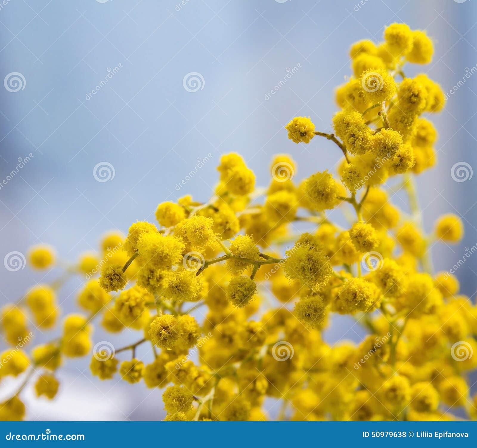 branche jaune de floraison de mimosa photo stock image 50979638. Black Bedroom Furniture Sets. Home Design Ideas