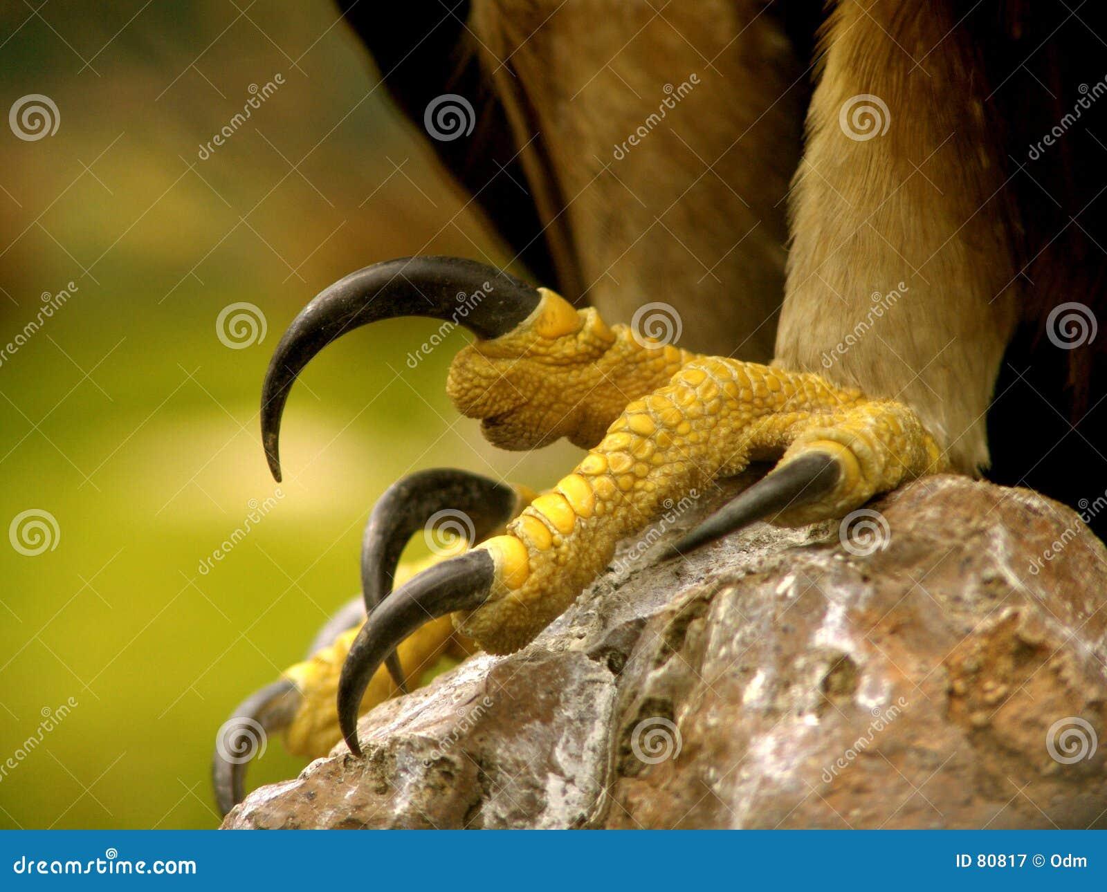 Branche reali dell aquila