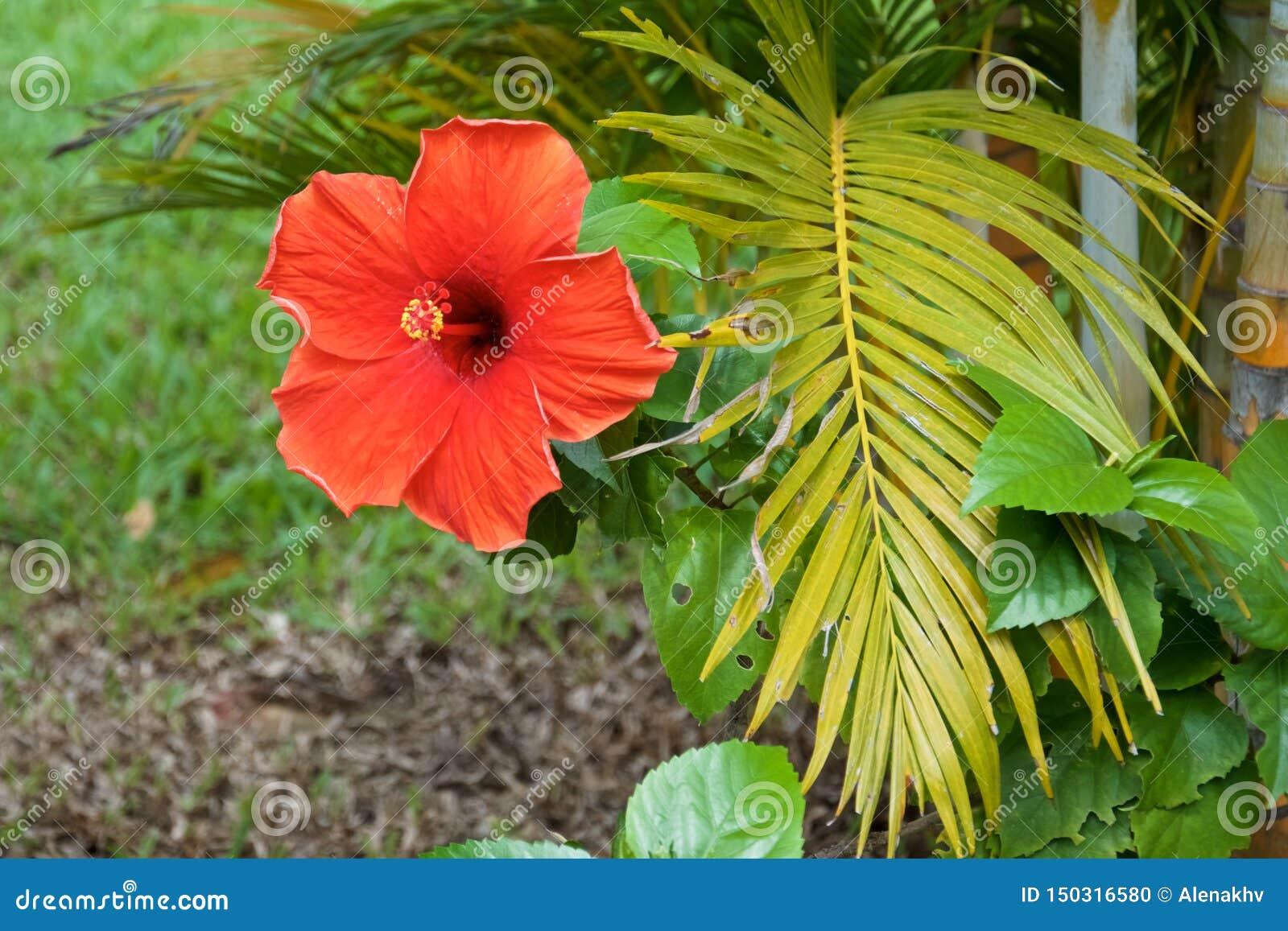 Branche rouge de fleur et de paume de ketmie