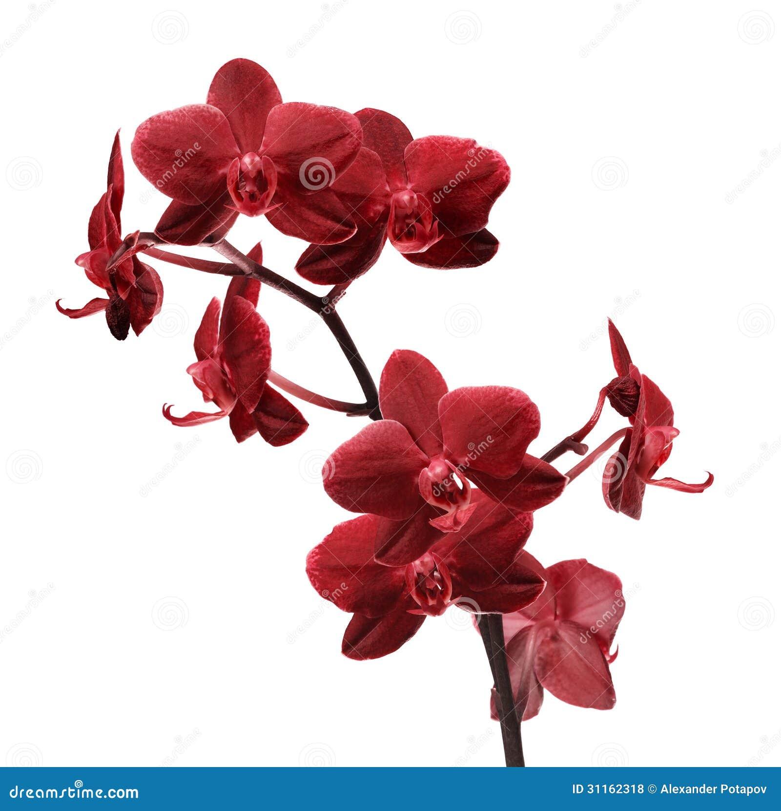 Branche Rouge Lumineuse D Isolement De Fleur D Orchidee Photo Stock