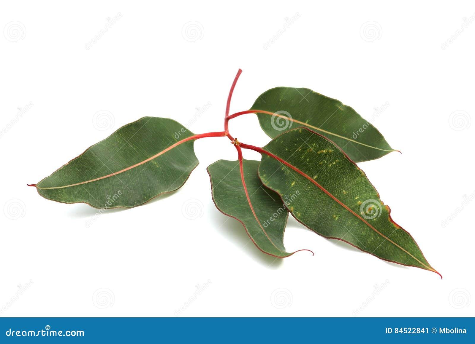 branche verte d'eucalyptus sur le fond blanc image stock - image du