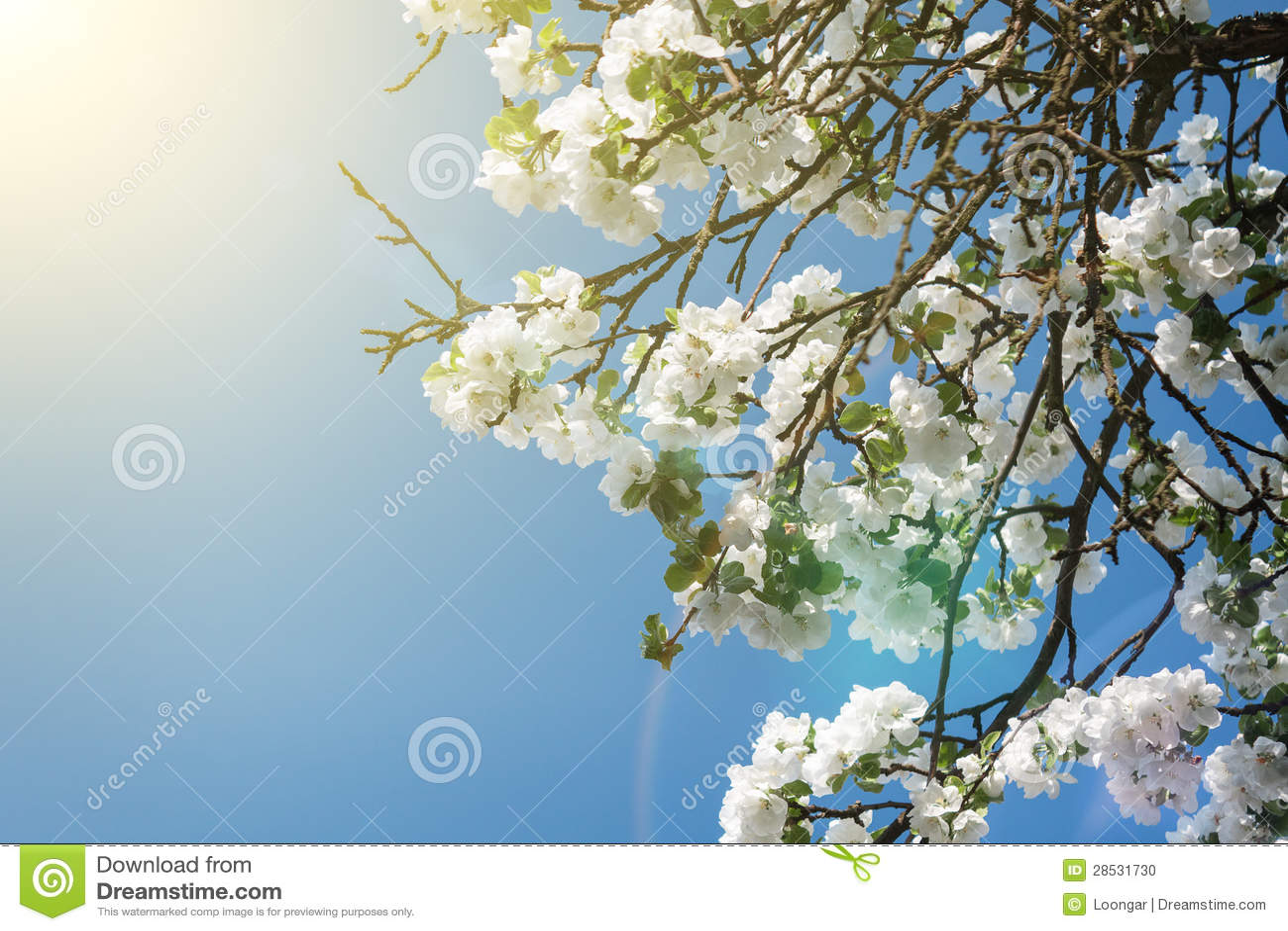 Branchement de floraison de pommier au printemps au-dessus de ciel bleu