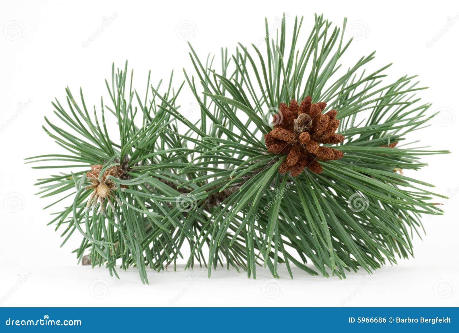 Branchement de pin