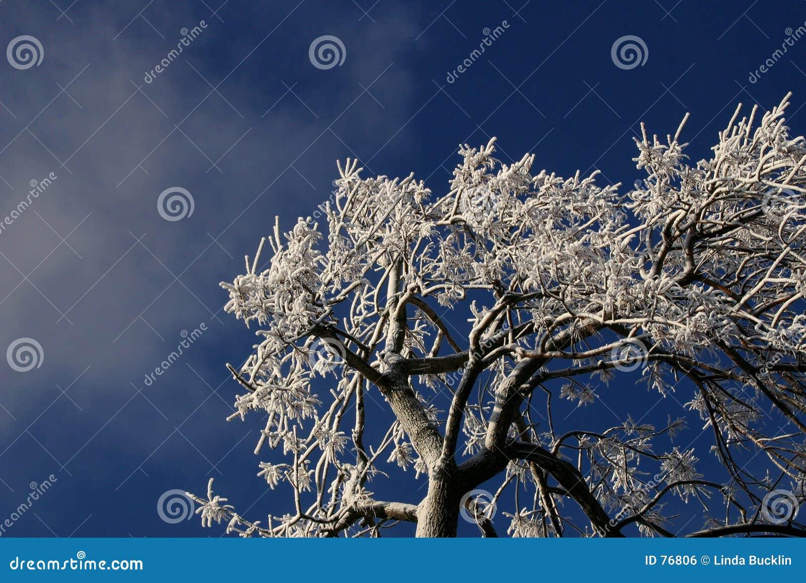 Branchements d arbre couverts de la glace.