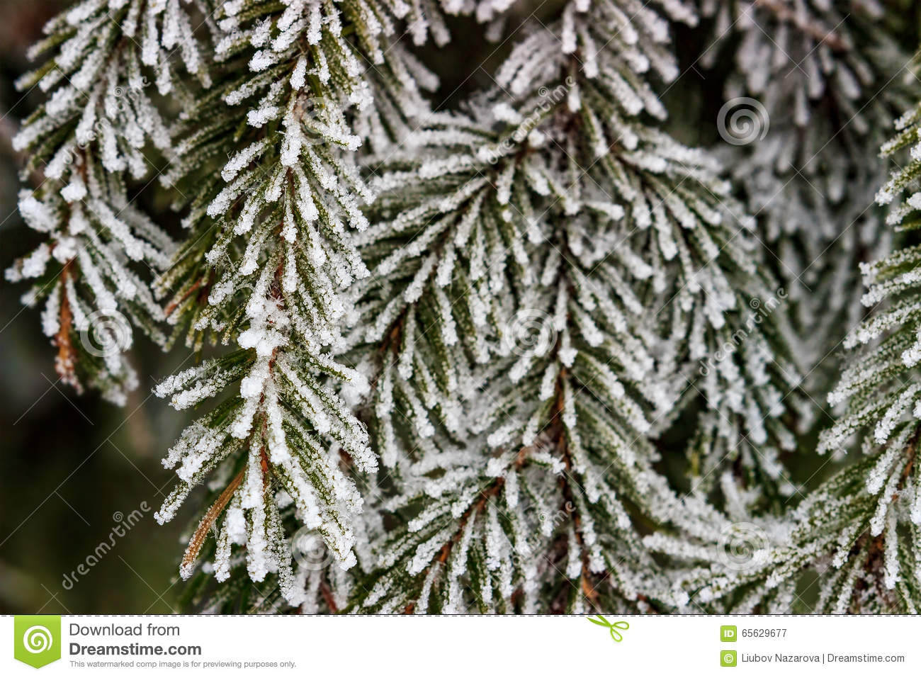 Branchements Snow-covered de sapin