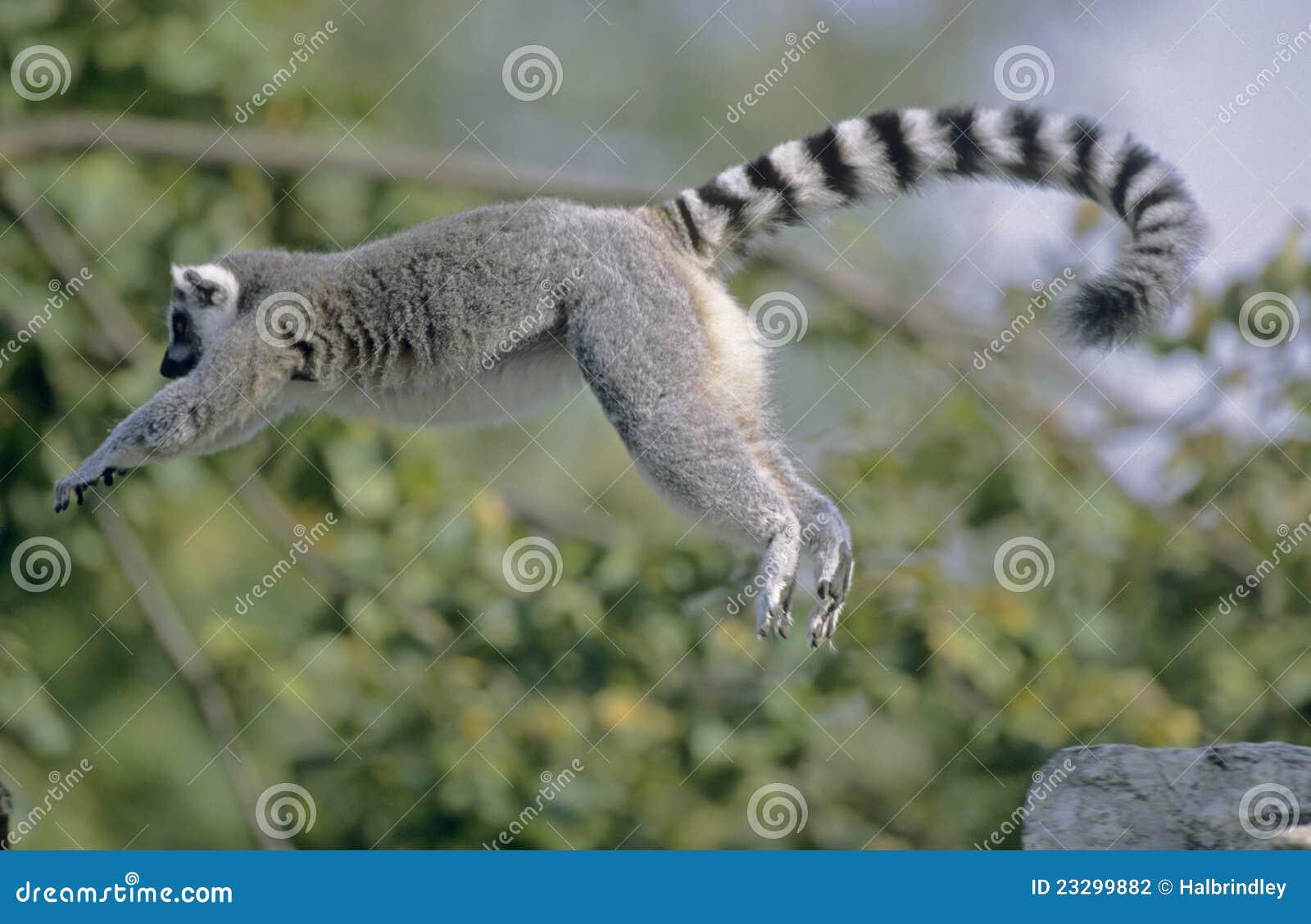 Brancher de Lemur Ring-tailed