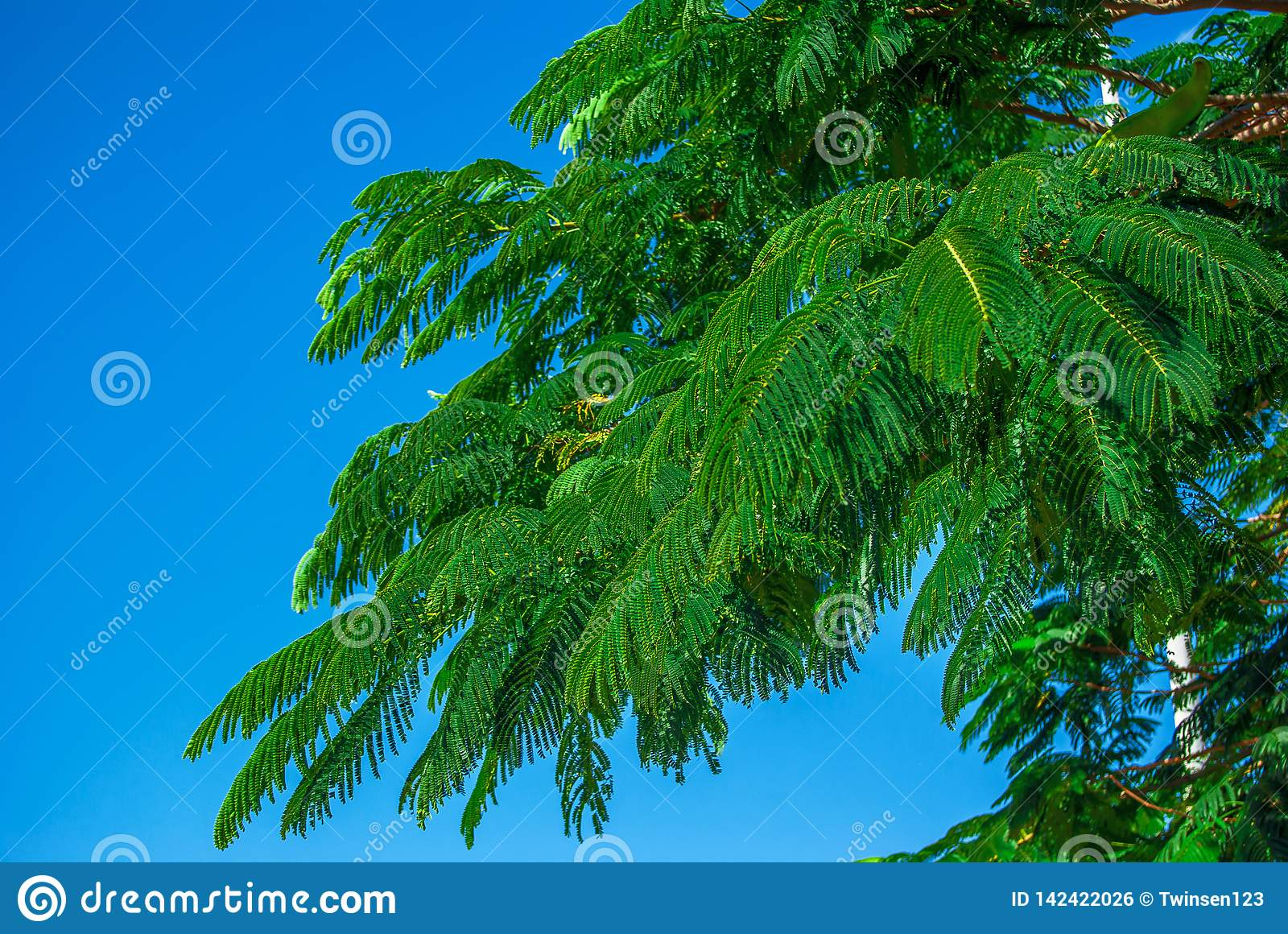 Branches Of Acacia On The Background Of Blue Sky Summer Background Nature Environmental Protection Stock Photo Image Of Beautiful Leaf 142422026 Thousands of new background images added every day. dreamstime com