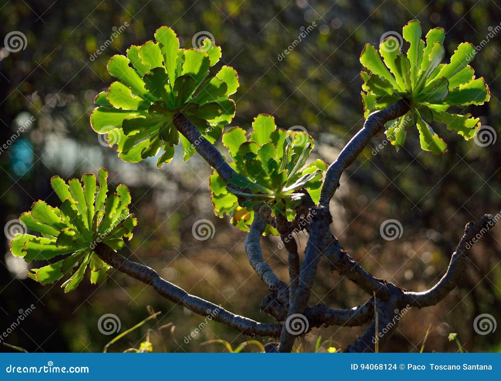 Branches of aeonium