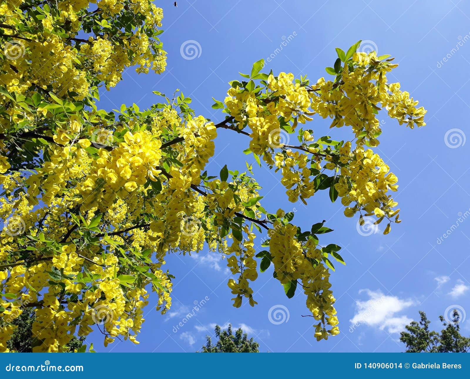 Branches avec les fleurs jaunes de la pluie à chaînes d arbre d Anagyroides de cytise ou d or d or contre le ciel bleu