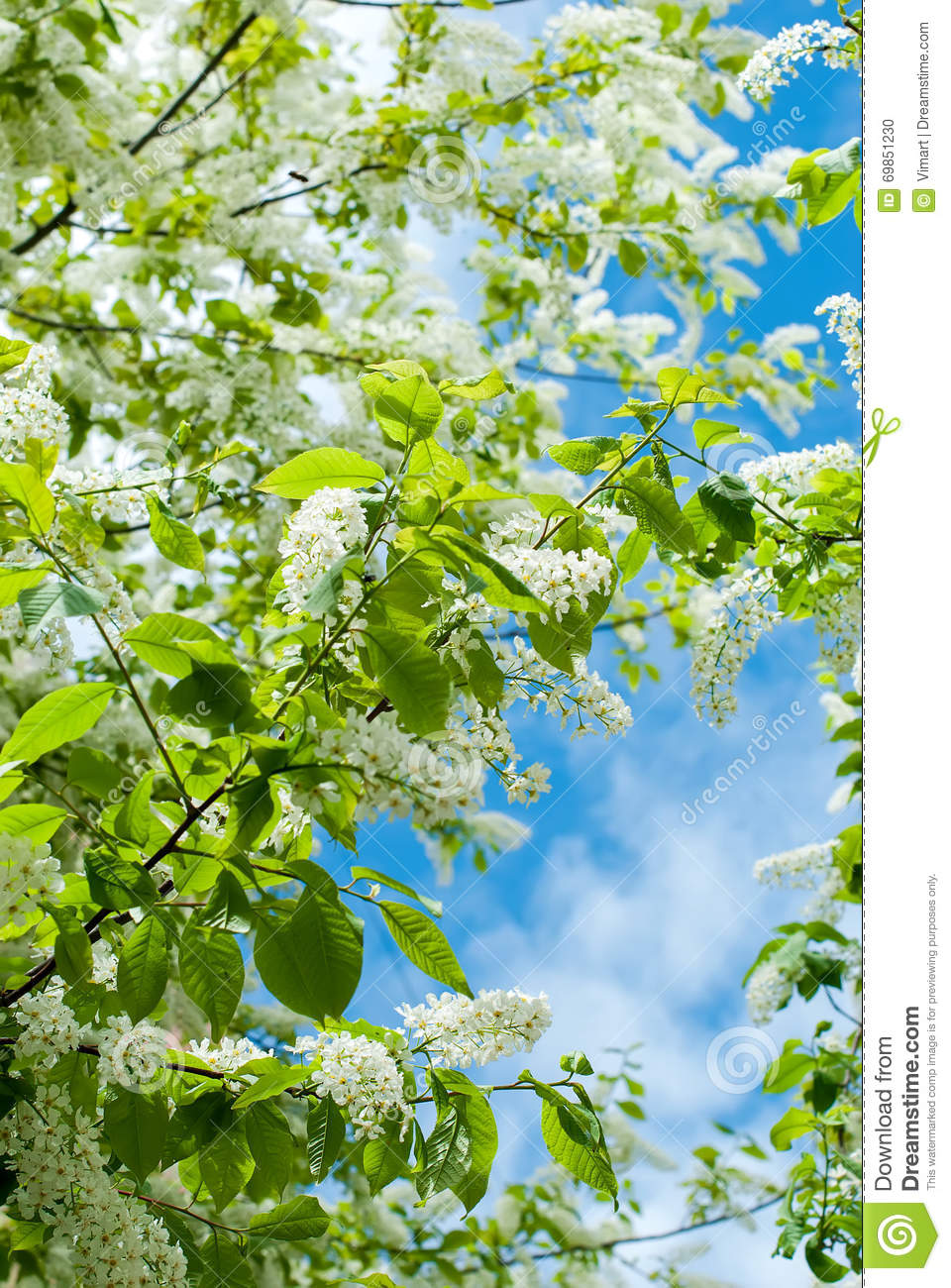 The branches bird cherry blossoms