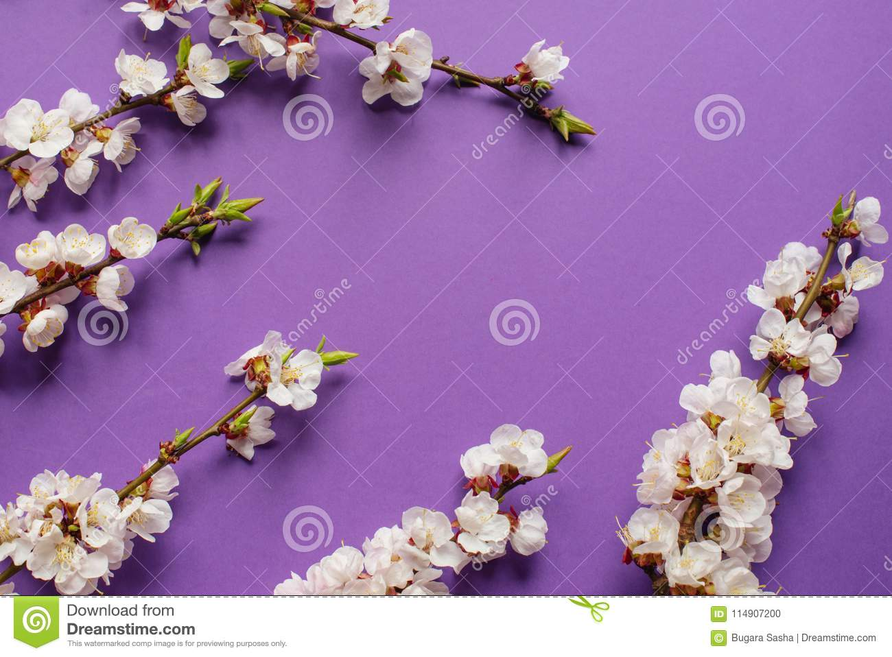 Branches of blossoming apricot with violet background spring download branches of blossoming apricot with violet background spring flowers top view stock photo mightylinksfo