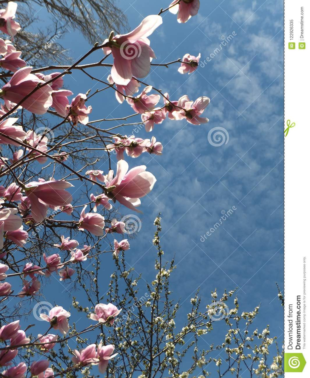 Branches Of A Blossoming Magnolia Tree With Sunlit Light Pink
