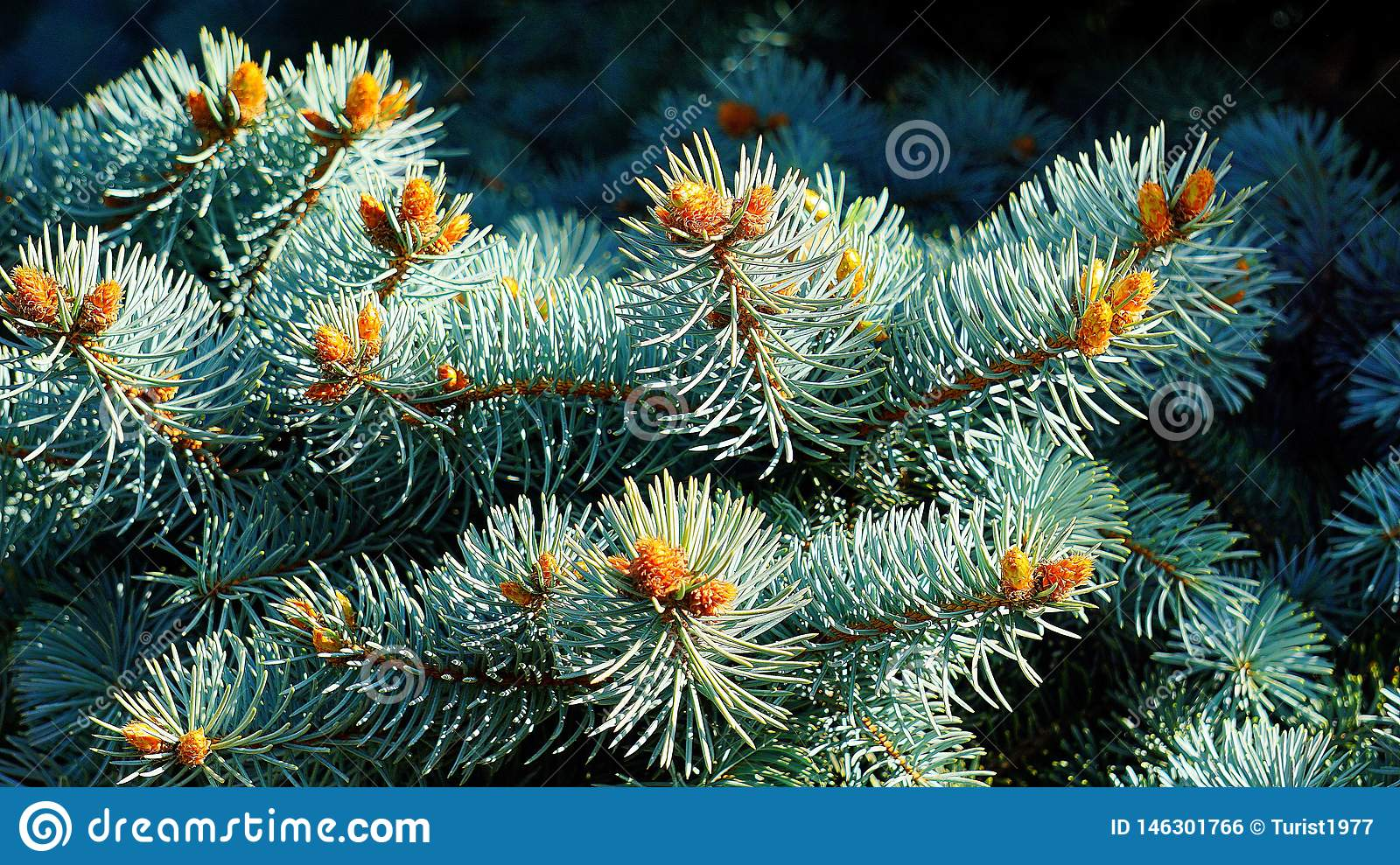 The Branches Of The Blue Christmas Tree In The Spring Are Very Beautiful. Stock Photo - Image of ...