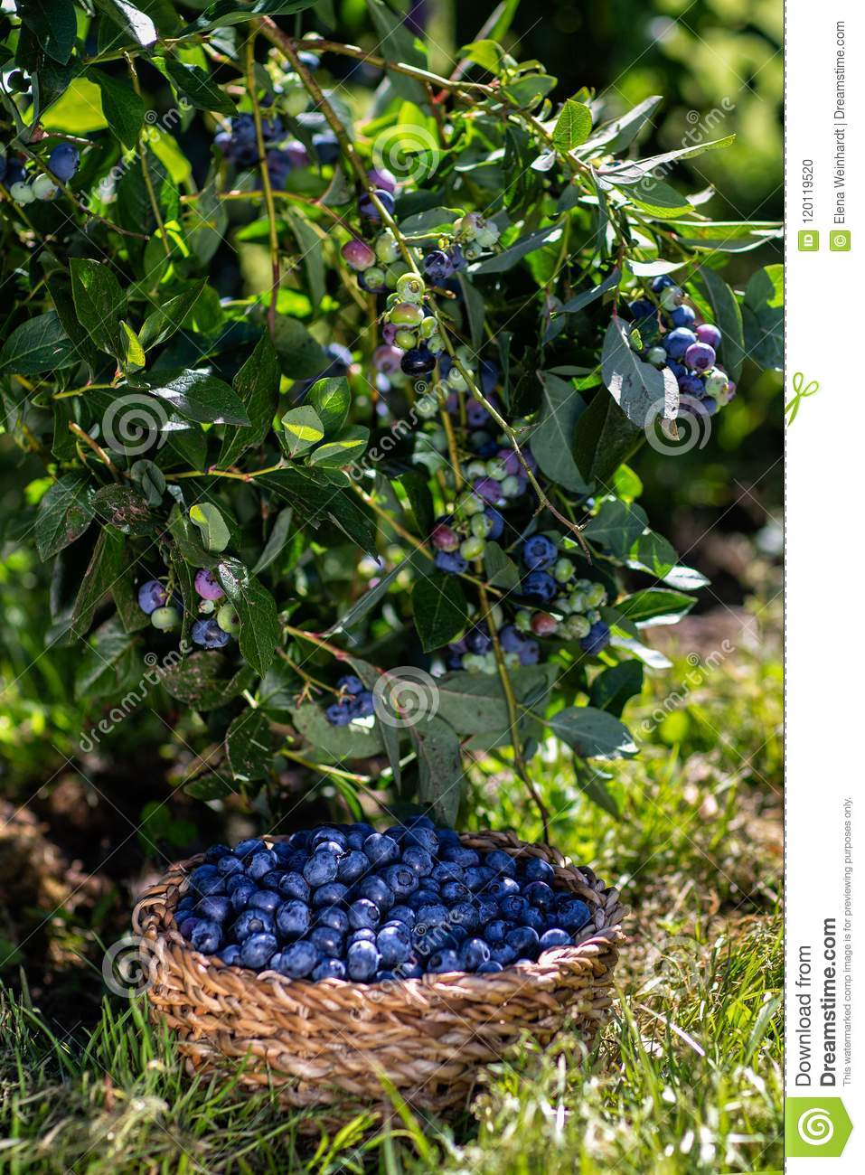 Branches of blueberries with berries and blueberries in the basket, harvesting