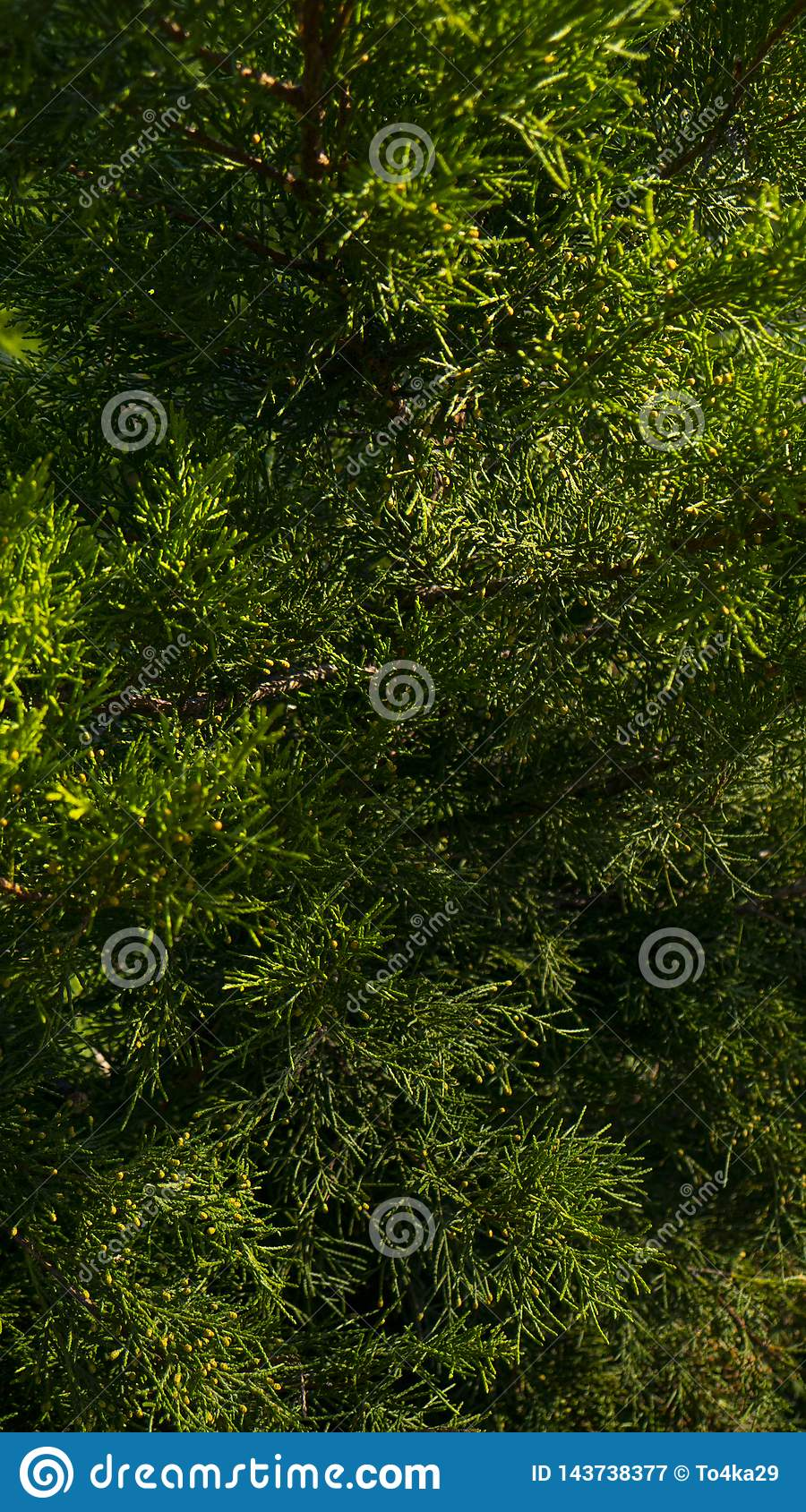 Branches of coniferous wood. Pine needles. Evergreen pine tree branch
