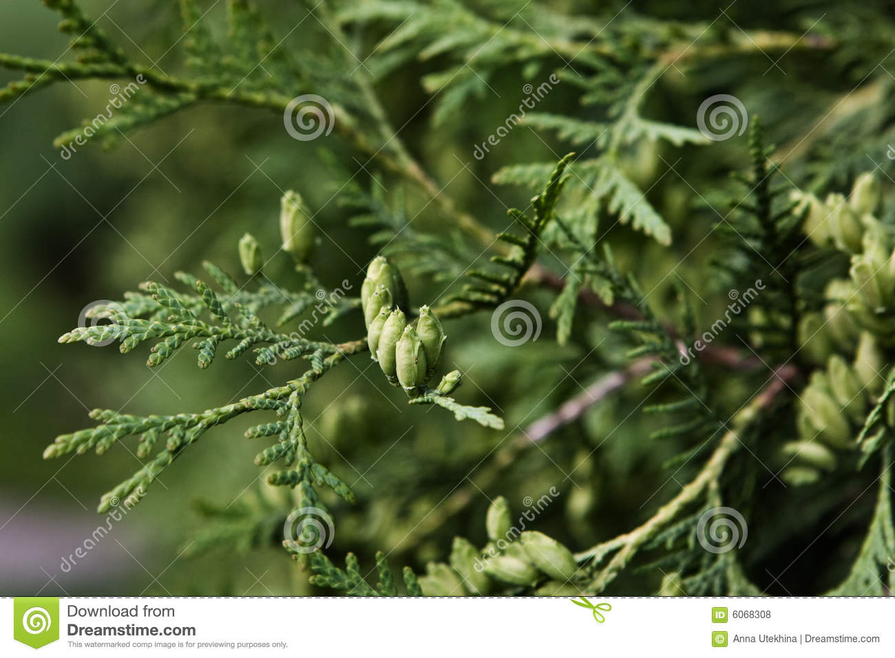 Branches of cupressus