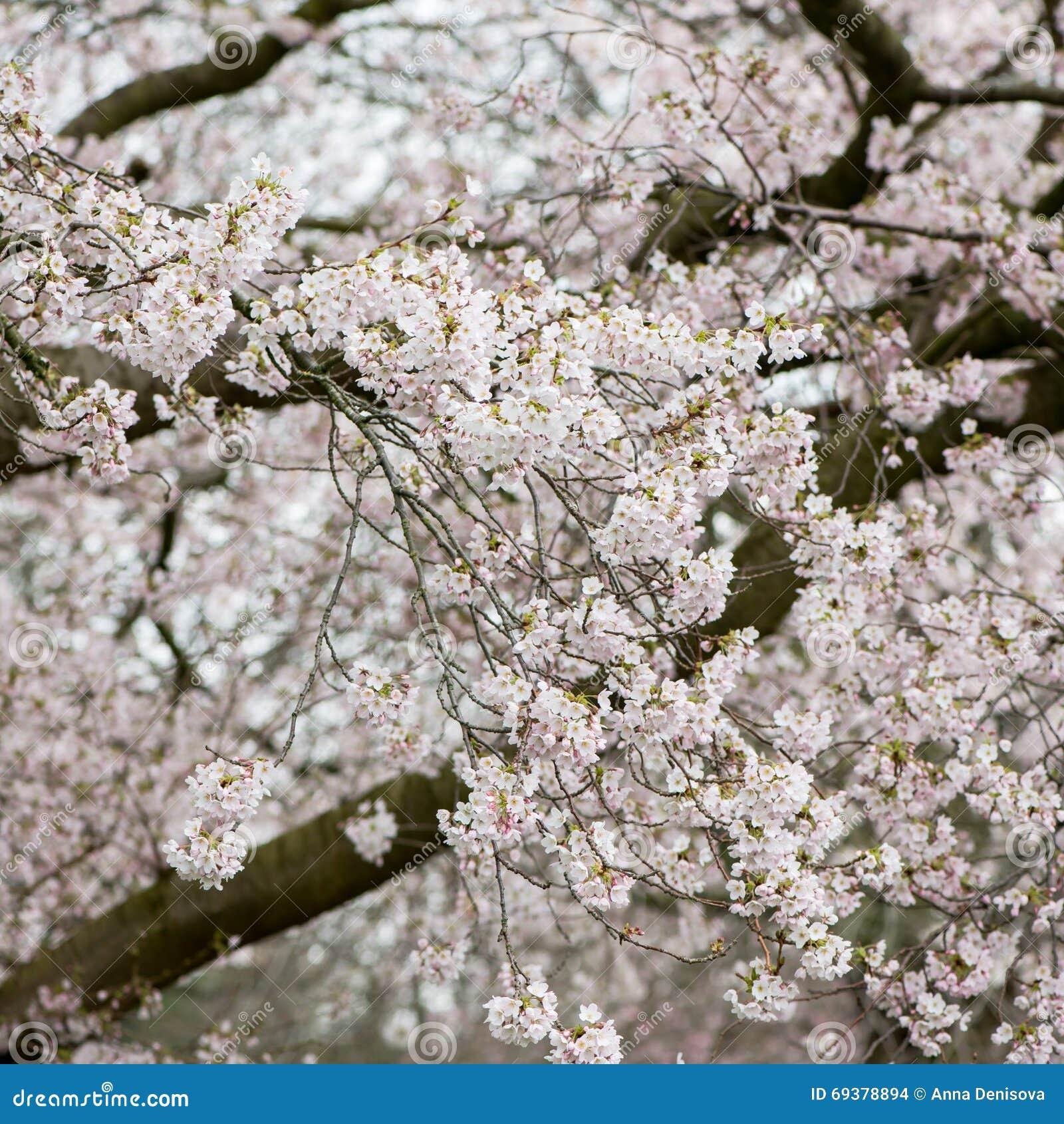 Branches d 39 arbre de floraison avec la fleur blanche photo - Deco avec des branches d arbres ...