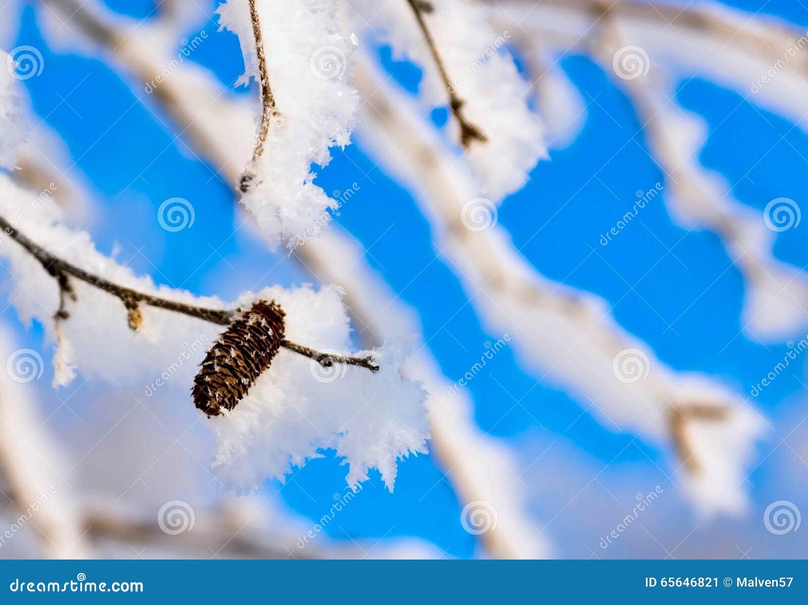 Branches d un bouleau avec la neige et la gelée brillantes blanches