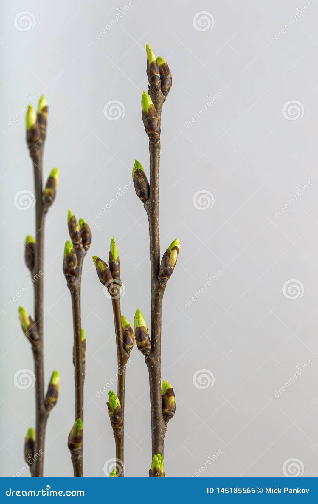 Branches de cerise d oiseau avec les bourgeons ouverts sur un fond clair