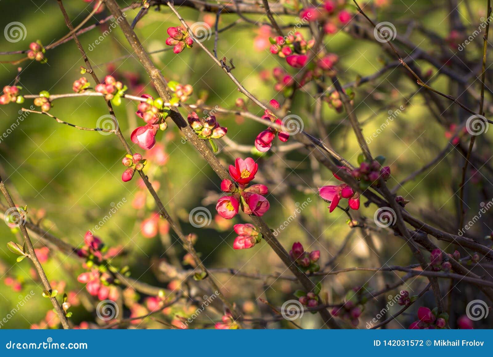 Branches de cerise de floraison, en premier ressort Fond brouillé profond