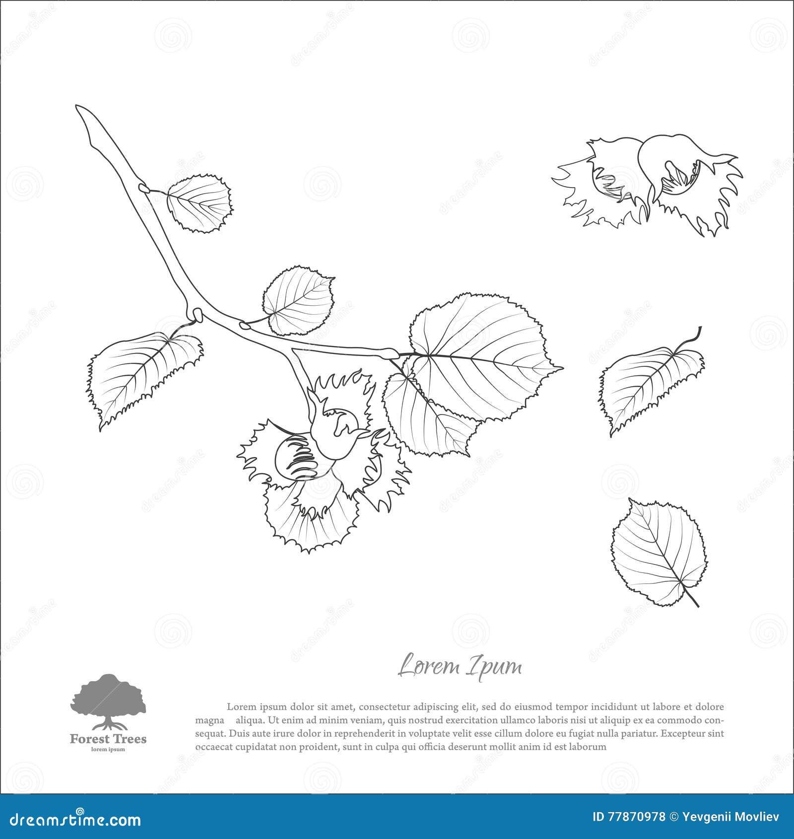 Branches de noisette de dessin de d coupe feuille d 39 crou - Dessin noisette ...