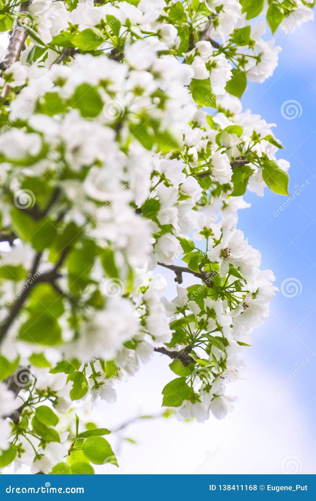 Branches de pommier avec des fleurs contre le ciel bleu sur Sunny Spring Day Concept de renouvellement de ressort