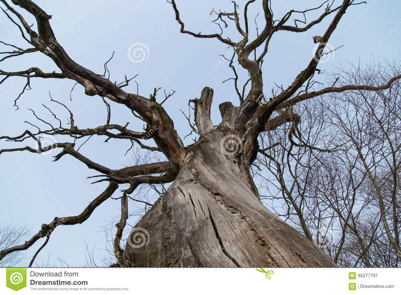 Branches of a dead giant tree