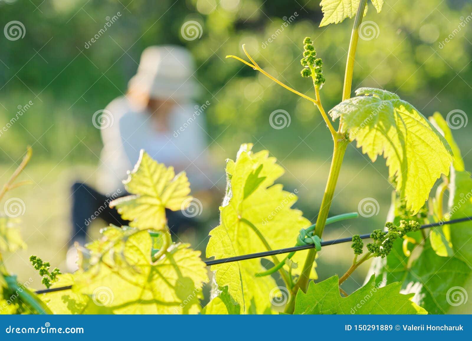 Branches des feuilles vertes de la vigne, vignoble au printemps