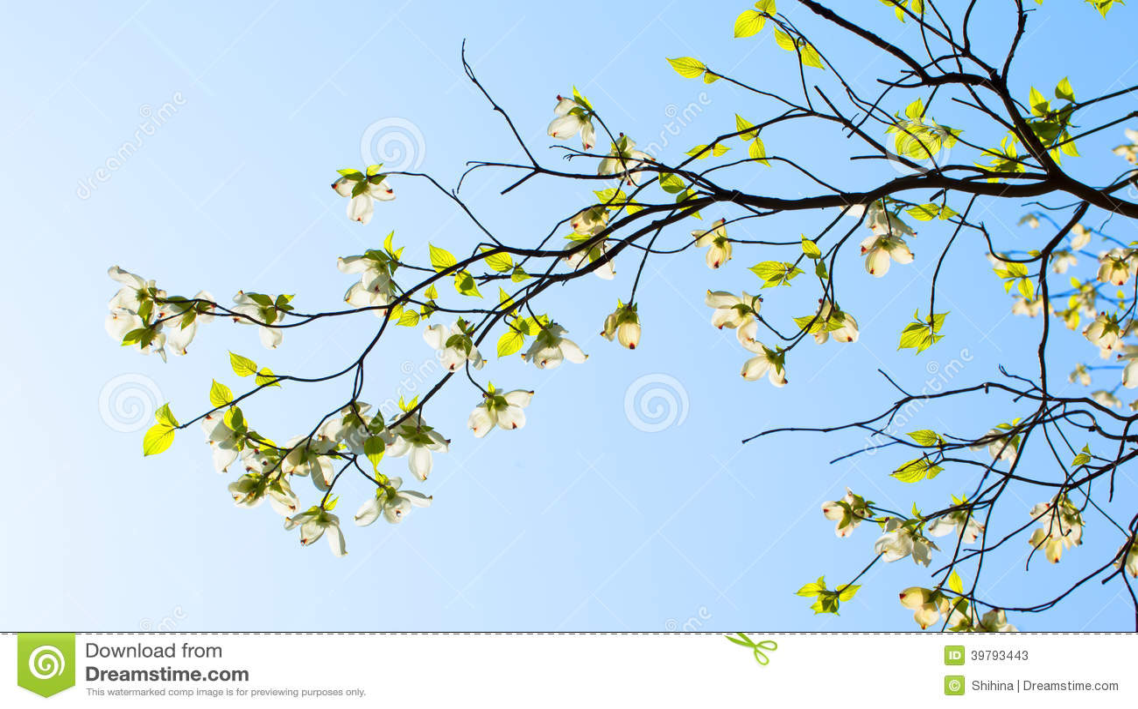 Branches Of Dogwood (Cornus Florida) And Blue Sky Stock Photo - Image ...